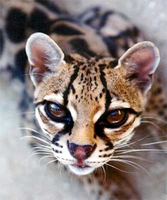 https://ogyt.files.wordpress.com/2013/01/9a282-margay2.jpg